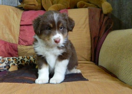 Australian puppies available for sale