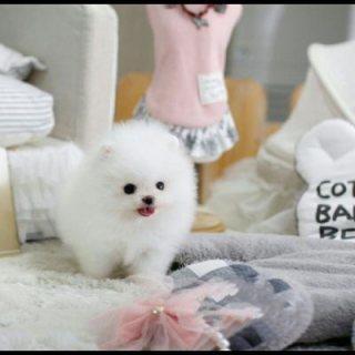 الجراء كلب صغير طويل الشعر المتاحة للبيع