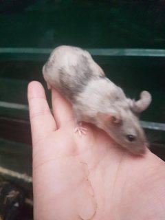 Translate  Splashed buck mice for sale  27/5000 بيع فئران باك