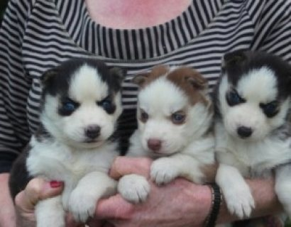 Beautiful Male and Female Husky Pups