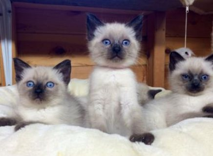 pedigree Ragdoll Kittens