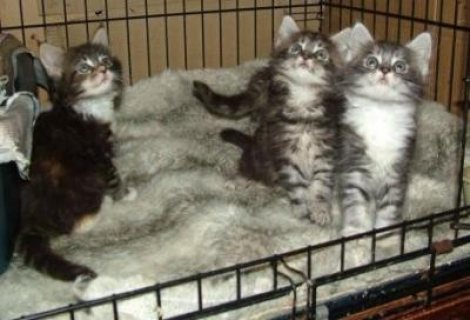 Available Maine Coon Kittens