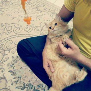 قطة تركي عمرها سنه وثلاث اشهر مطعمة نظيفة جدا وجميله جدا واجتماعية