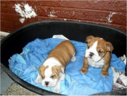 Two Our Adorable English Bulldog Puppies Ready