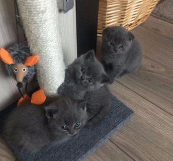 Lovely Blue Scottish Fold Kittens