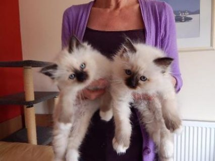 Beautiful Birman Kittens For Sale