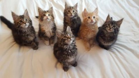 Pure Maine Coon Kittens