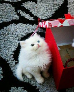 قطة شيرازي بيضاء عيونها ازرق 50 يوم  White kittens 50 days blue eyes clean