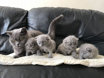 British Shorhaired Kittens for sale