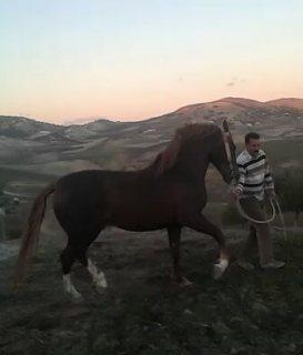 خيل عربي بربري أصيل