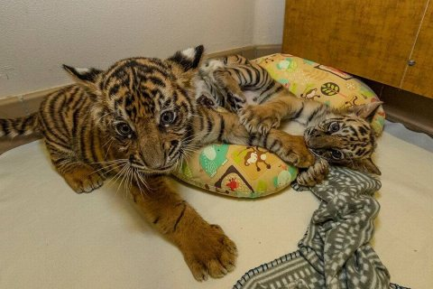 Beautiful Tiger Cubs For Sale