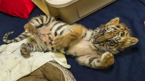 Calm and playful Tiger cubs for salee
