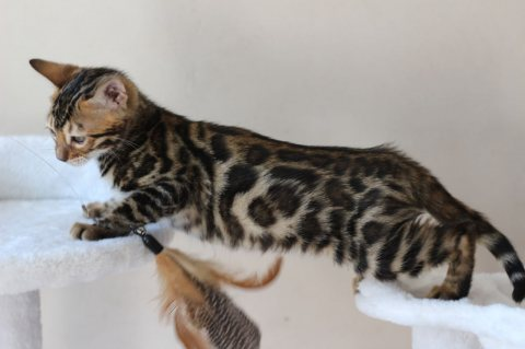 Beautiful F1 Savannah Kittens For Sale.