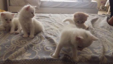 4 قطط شرازي مون فيس