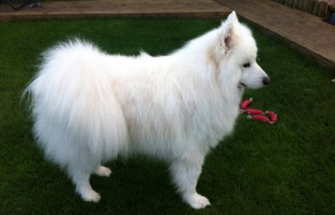 Akc Registered One Boy And One girl Samoyed puppies for sale