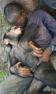 Adorable and sweet chimpanzees for sale