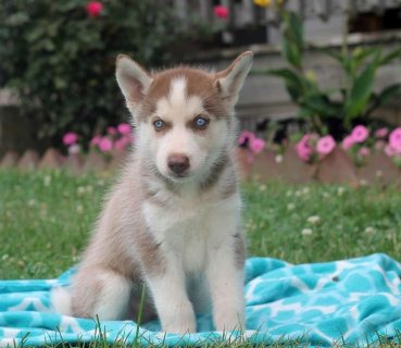 Lovely Siberian Husky Puppies For Sale`