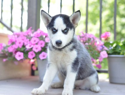 Gorgeous Siberian Husky Puppies For Sale`