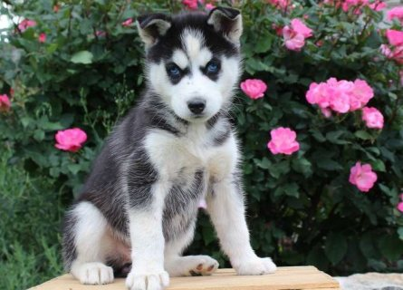 صور Good Temperame Siberian Husky Puppies For Sale 1