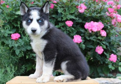 صور Good Temperame Siberian Husky Puppies For Sale 2