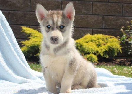 Trained Siberian Husky Puppies For Sale`