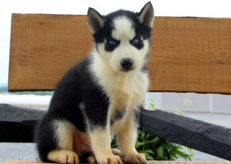 Well trained Siberian Husky Puppies For Sale`
