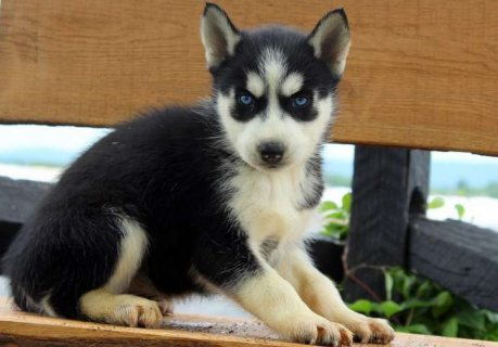 Healthy Siberian Husky Puppies For Sale`