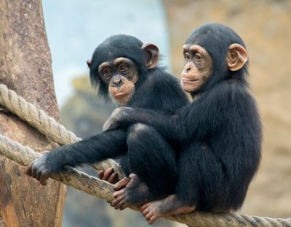 Well train and understanding Chimpanzees for sale