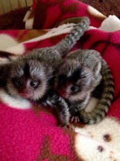 Adorable marmoset monkeys available