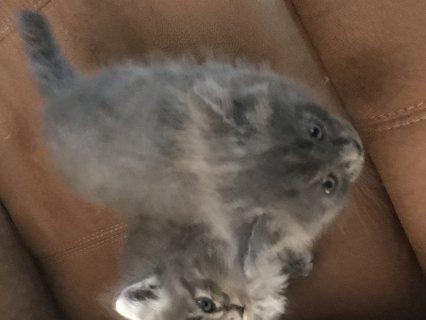 قطتيين للبيع ذكر وانثى العمر شهرين