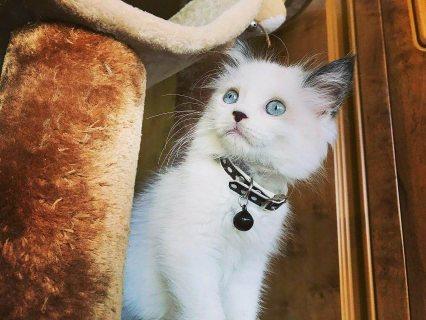 قطة رجدول بيضاء مع شوكلاتة عيون ازرق 55 يوم ومطعم White Ragdoll kittens