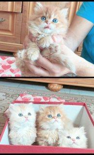 قطط شيرازي الوان مختلفه عيون خضرا 50 يوم نظاف ومدربين persian kittens