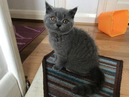 القطط قصيرة الشعر البريطانية للمبيعات ،