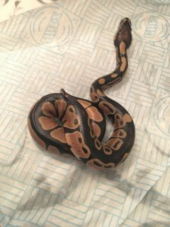 VARIOUS DIFFERENT TYPES OF PYTHONS AVAILABLE FOR SALE
