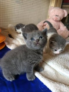 منزل أثارت البريطانية قصيرة الشعر القطط للبيع.