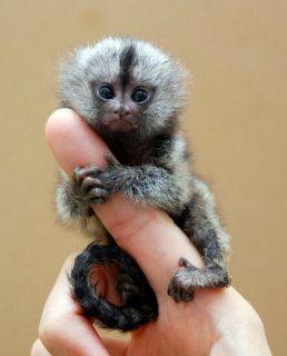 marmoset القرد للبيع