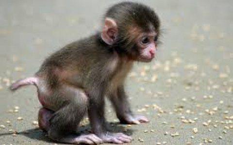 لطيف الذكور والإناث الجراء كابوتشين القرد للبيع.