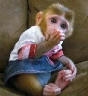 الجراء لطيف كابوشين القرد للبيع.