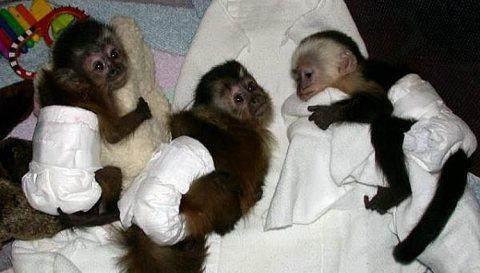 اثنان capuchin قرد للبيع.