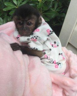 جميل القرد Capuchin للبيع.