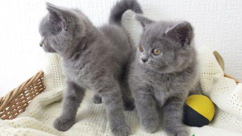 لطيف القطط الذكور والإناث البريطانية Shorthaired للبيع ،