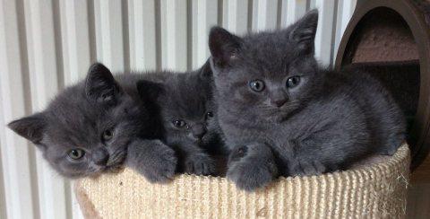 لطيف القطط قصيرة الشعر البريطانية للبيع ،