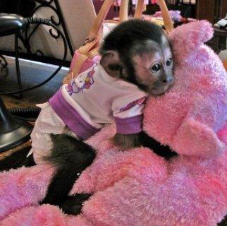 لطيف القرود القرد للبيع