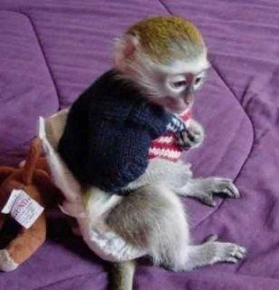 اثنين جميلة Capuchin القرود للبيع