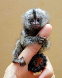 جميل Marmoset القرود للبيع