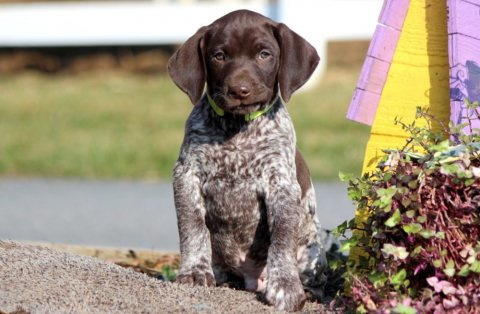 AKC Registered German Shorthaired Pointer Puppies