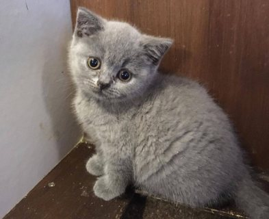 Spayed ، declawed ، microchiped القط الشعر القصير المحلي إلى المنزل الجيد
