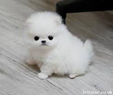 اثنين من جرو كلب صغير طويل الشعر للبيع.