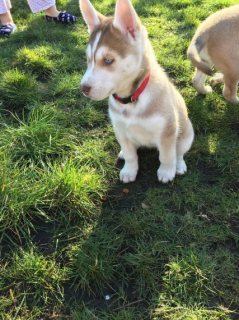 Gorgeous Husky Puppies for sale