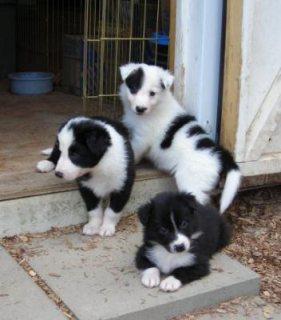 Adorable Border Collie pups for sale